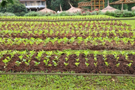 Agriculture field with row of salad vegetable
