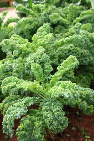 Kale or borecole  Cabbage   close-up  Stock Photo