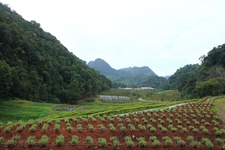 agronomic: Agriculture field with row of salad vegetable