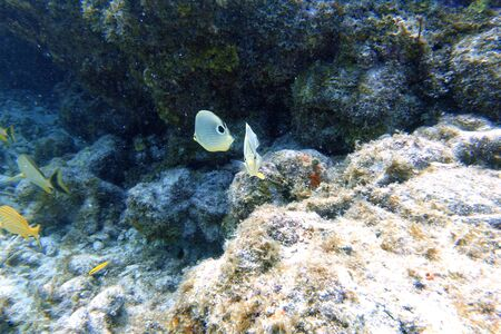 An underwater photo of a Four Eyed Butterflyfish or Chaetodon capistratus, is found in the Western Atlantic, Bermuda, and Caribbean.