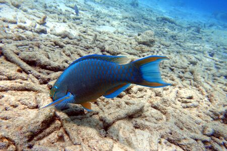 An underwater photo of a Parrotfish swimaing around the rock and coral reefs in the ocean. Parrotfish are a colorful group of marine species (95) found in relatively shallow tropical and subtropical oceans around the world.