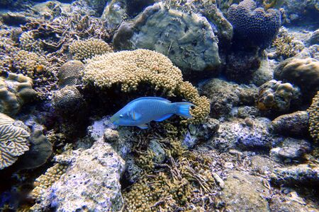 An underwater photo of a Parrotfish swimming around the rock and coral reefs in the ocean. Parrotfish are a colorful group of marine species (95) found in relatively shallow tropical and subtropical oceans around the world.