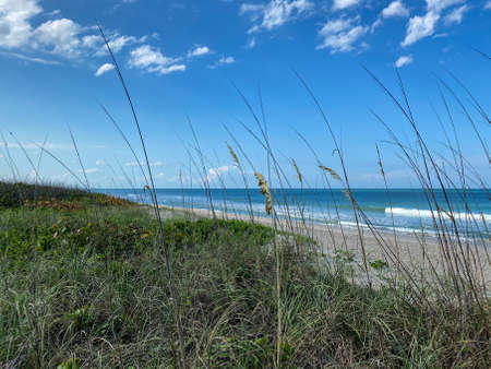 Sea oats  overlooking the beach and ocean on a beautiful sunny day along the shoreline on North Hutchinson Island Florida. Editorial