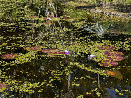 Tropical water pond with water lillies in a botanical garden in Vero Beach, Florida.