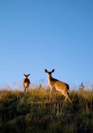 Deers roaming close to the visitor center atop Hurricane Ridge at Olympic National Park, Washington. Stock Photo