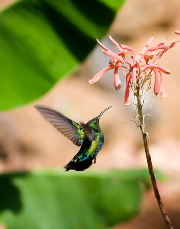 aloe flower: hummingbird and aloe flower Stock Photo