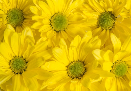 Group of yellow daisies photo