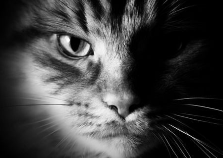 Portrait of a cat close-up in black and white style. Black and white picture of the maine coon cat