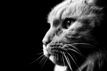 Black and white photo of cat breed Maine Coon close-up in profile. Cat close-ups looks into the left side.