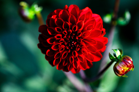 Red Dahlia flower close-up. Floral background for advertising, covers of magazines, screen savers and other purposes.