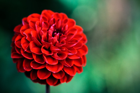 Floral background. Flower of dahlia.
