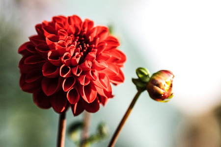 Red Dahlia flower close-up. Floral background for advertising.