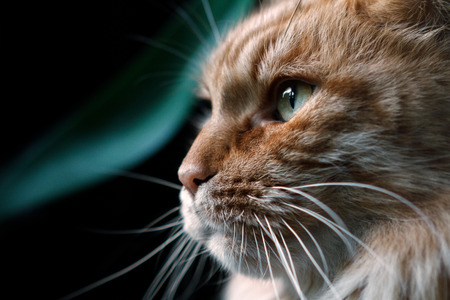 Red cat breed Maine Coon close-up in profile. Cat close-ups looks into the left side Stock Photo