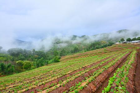 tribu: Plantación de la fresa de jardín en Tailandia Hill- aldea de la tribu, Chiang Mai