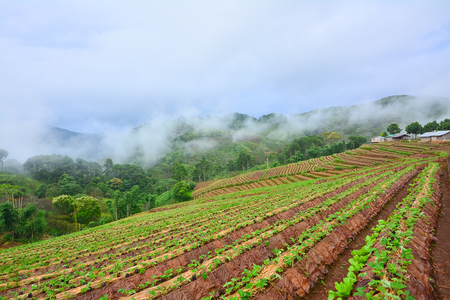 mountainscape: Plantation of strawberry garden upon Thai hill- tribe village ,Chiangmai Stock Photo
