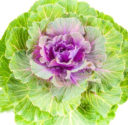 brassica: Color cabbage  ornamental Brassica for gardening Stock Photo