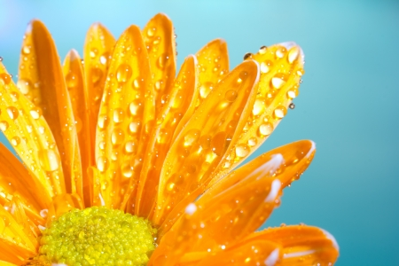 Orange chrysanthemum with water droplets on a blue background Reklamní fotografie