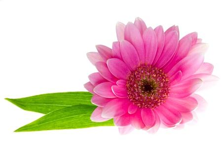 Pink gerbera daisy with leaves on a white background  Reklamní fotografie