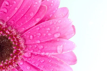 Pink gerbera daisy with water droplets on a white background