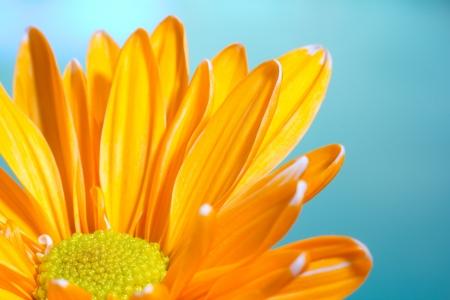 Orange chrysanthemum against a blue background