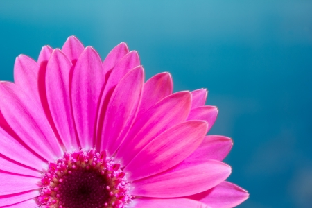 Pink gerbera daisy flower on a solid blue background