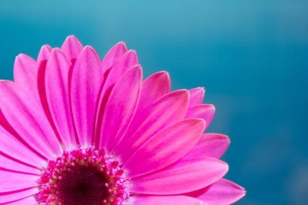 Pink gerbera daisy flower on a solid blue background Reklamní fotografie - 18089168