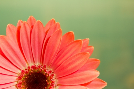 Pink gerbera daisy flower on a solid green background Reklamní fotografie - 18089164