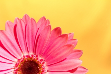 Pink gerbera daisy flower on a solid yellow background Reklamní fotografie