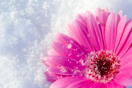 Pink gerbera daisy lying in a bed of snow Reklamní fotografie