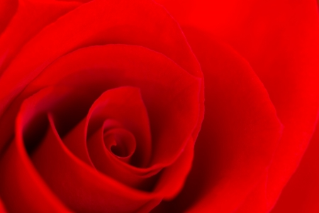 close-up image of a single red rose Stock Photo