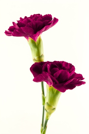 Two beautiful magenta carnation flowers isolated on a white background