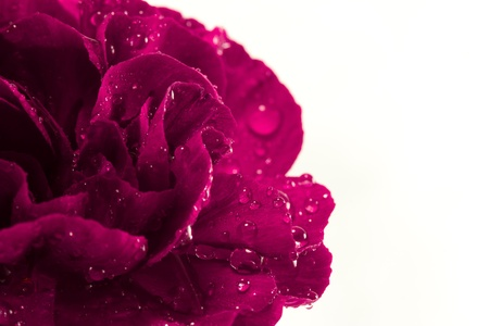 A beautiful single magenta carnation flower isolated on a white background and covered with water droplets   There is plenty of copy space to the right of the flower  Reklamní fotografie
