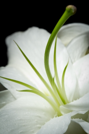 A close-up image of a beautiful single white lily isolated on a black background Reklamní fotografie
