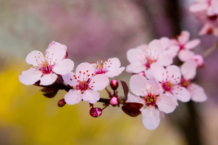 blooming pink cherry blossoms stand out against forsythia in the background