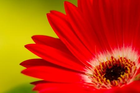 Close-up of a red gerbera daisy on a green background Reklamní fotografie