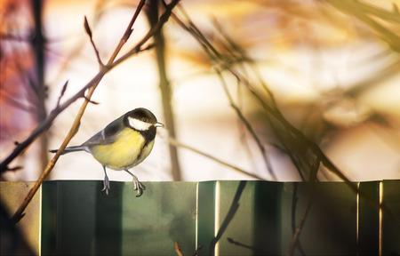 tit, yellow bird, spring concept, winter, Cyanistes caeruleus, songbird, Wildlife
