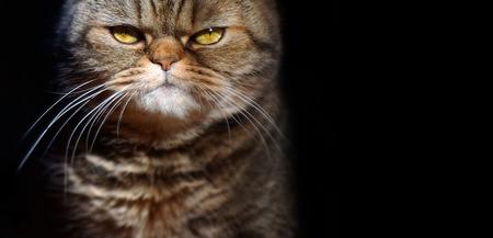 grumpy tabby serious british cat on a black Stock Photo