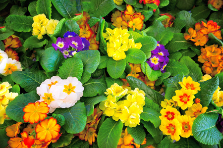 First springs flowers Primrose mix, green leaf Stock Photo