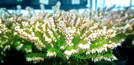 heath: white heather background