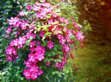 Flowers clematis  on a garden plot in summer, background