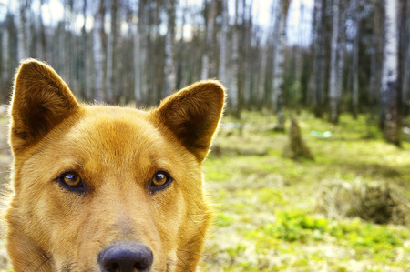 Portrait of a Beautiful happy brown dog smiling in the field, Looks like bear, look at the