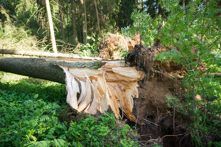 A broken tree by a wind, a hurricane. Storm damage