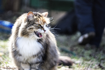 Angry street cat on green grass