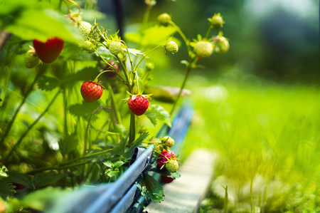 Red delicious strawberries grow on the garden bed,