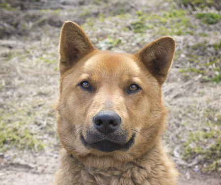 Beautiful happy brown dog smiling in the field, Looks like  bear, look in the camera