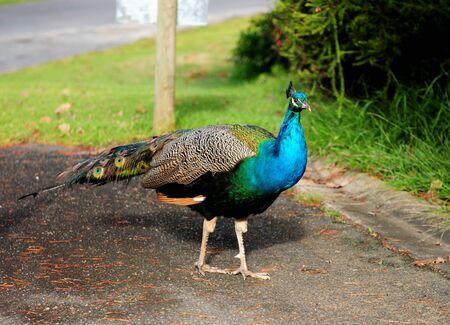 Beautiful Peacock Swaggering At Lake Hume NSW Australia 写真素材