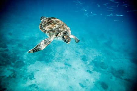 Barbados Sea turtle in blue sea snorkeling beautiful paradise carribean nature 版權商用圖片