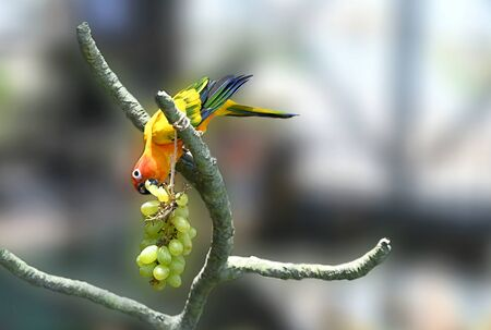 Colorful Parrot Sun Conure Eating Grapes