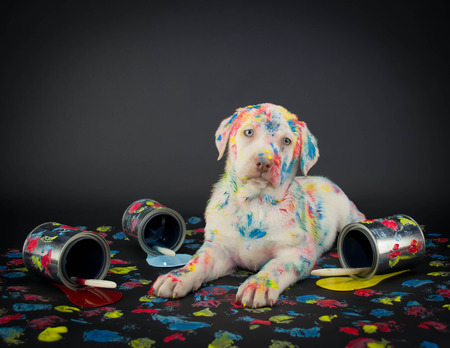 messy: A silly Lab puppy looking like he just got caught getting into paint cans and making a colorful mess.
