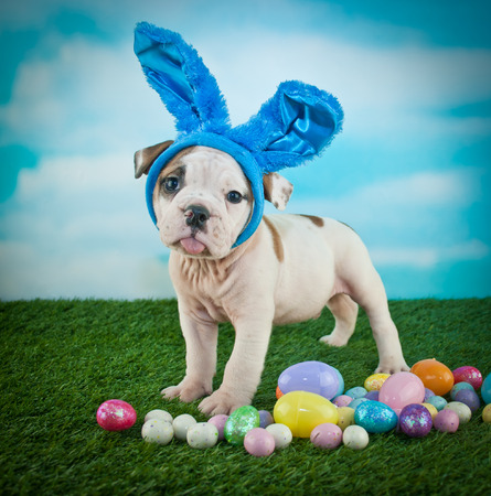 Funny Bulldog puppy wearing bunny ears and sticking out his tongue.